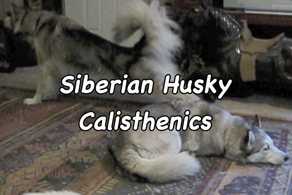 Siberian Husky Calisthenics