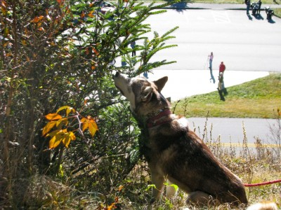 Kodiak wants to know why his favorite blueberry bush has no more blueberries.