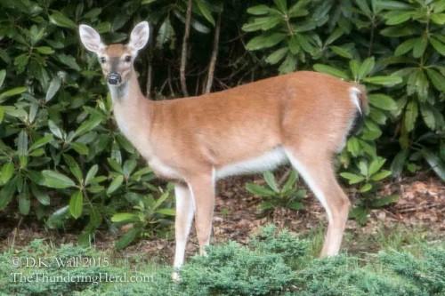 Doe deer standing a few feet from the house
