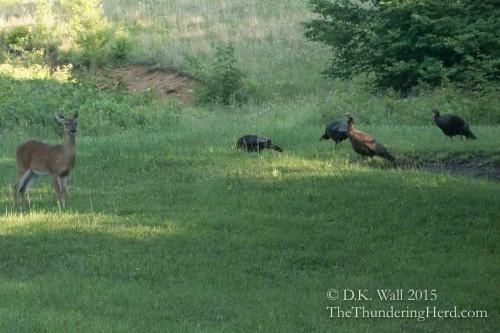 Flock of wild turkey join the scene