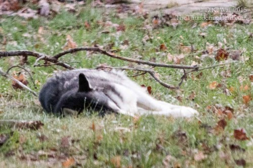 Typhoon napping in the yard. Let sleeping dogs lie.