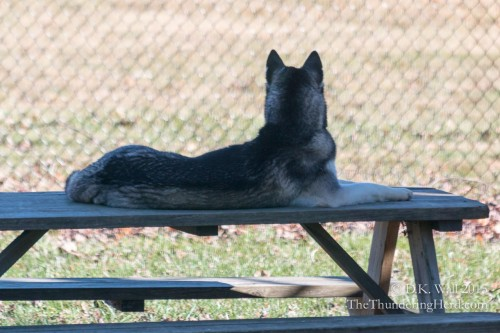 Frankie on his picnic table surveying Sibe Quentin.