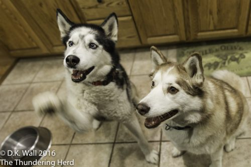 Tartok and Ruby posing for treats. Ok, fine, Tartok is motioning that he wants the treat NOW.