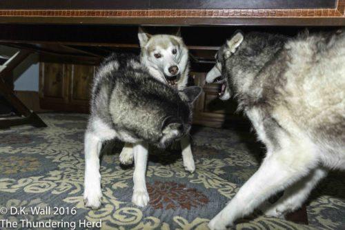 Business Etiquette - Siberian Husky Style