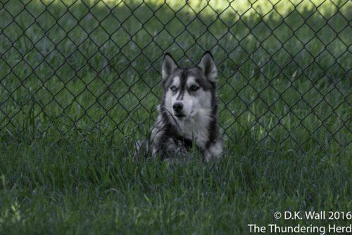 Stalking wolf?