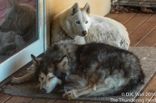Kiska and Qannik napping on the porch.