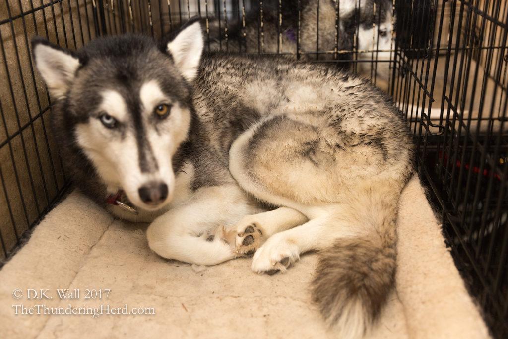 Best Laid Plans Of Mice Men And Siberian Huskies The Thundering Herd