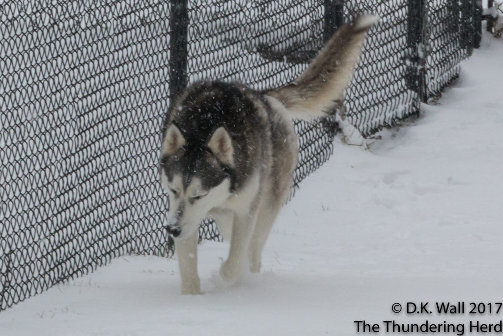 Frankie conducts preliminary patrol in the flying snow.
