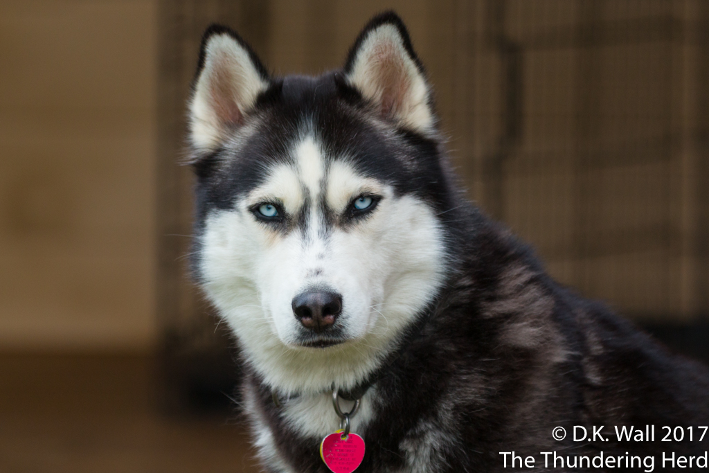 Thinking Process Of A Siberian Husky | The Thundering Herd