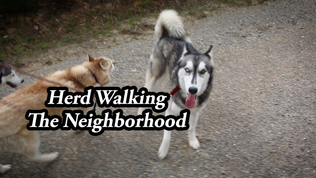 Herd Walking The Neighborhood