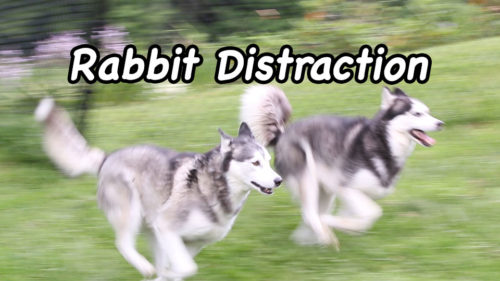 rabbit distraction
