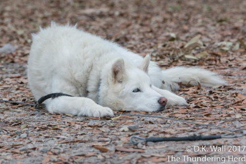 A cotton ball snoozing on the ground. - vacation tired