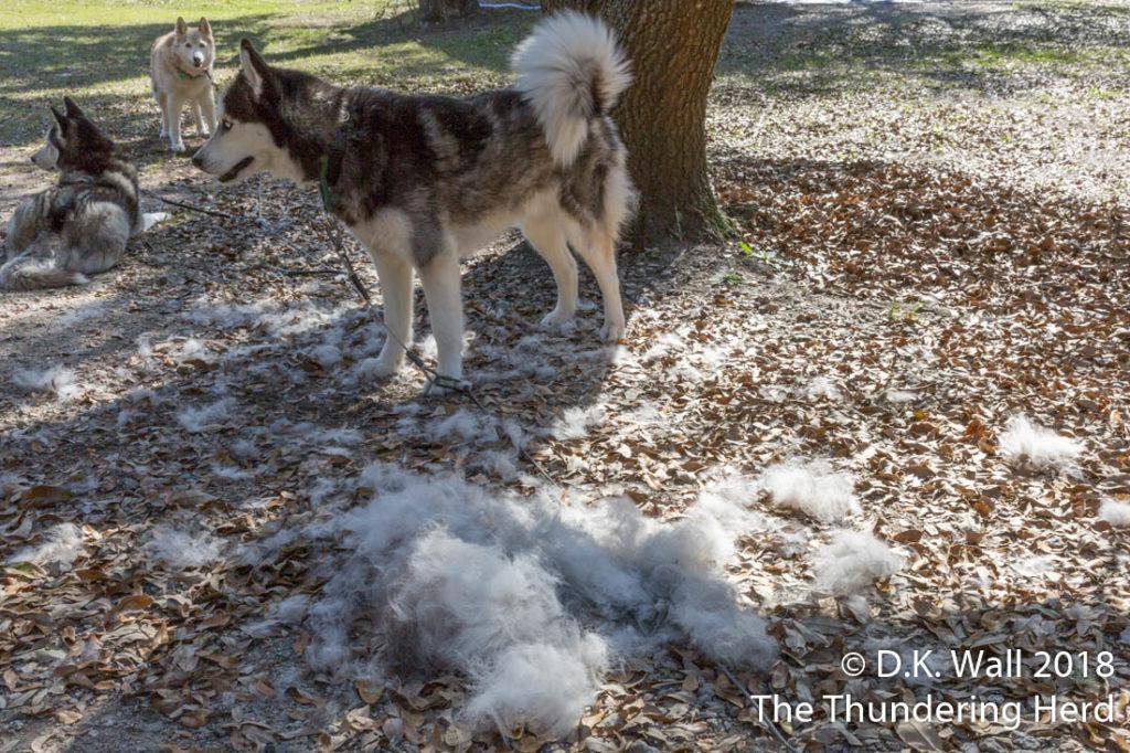 When you defluff a Siberian Husky, you get a lot of fluff.