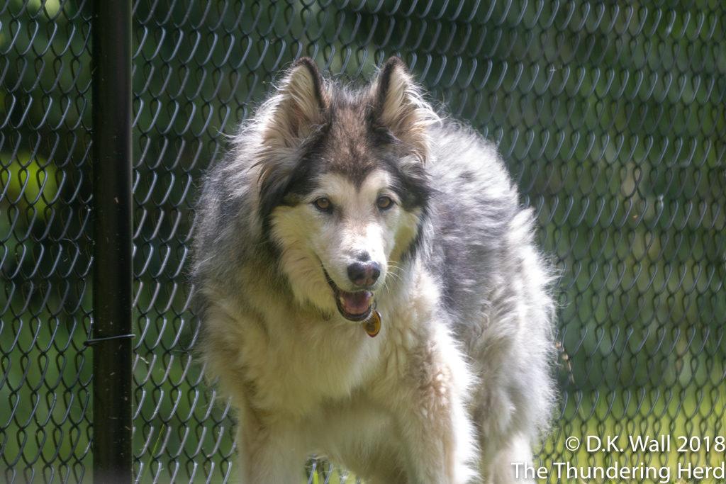 Kiska's fur suffering from humidity frizz