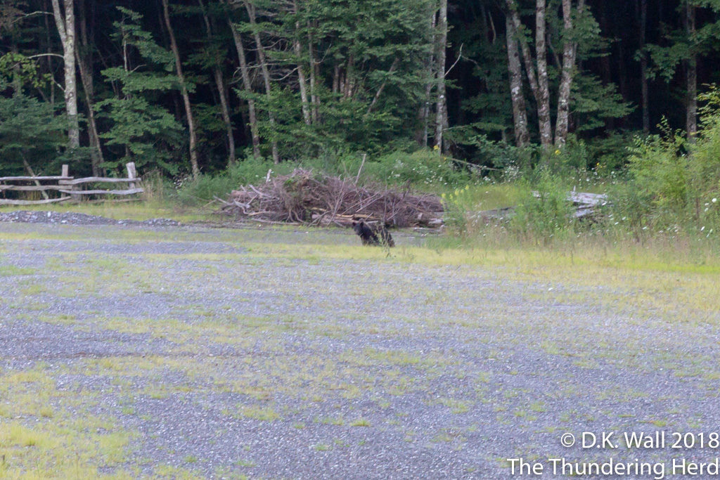 A bear will get a walk cut short.