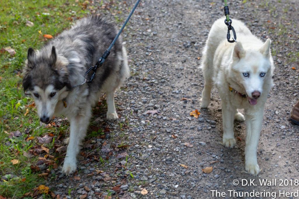 Kiska and Qannik enjoy a quieter walk.