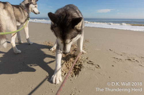 See, Roscoe, you dig in the sand just like this.