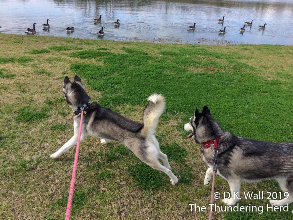 Run. It's a geese gaggle!