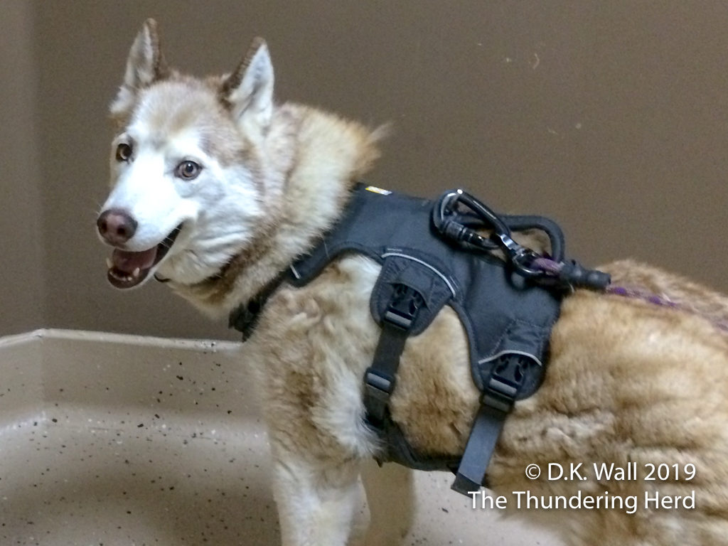 Miss Cheesewhiz sporting her harness. - Harnessing Cheesewhiz