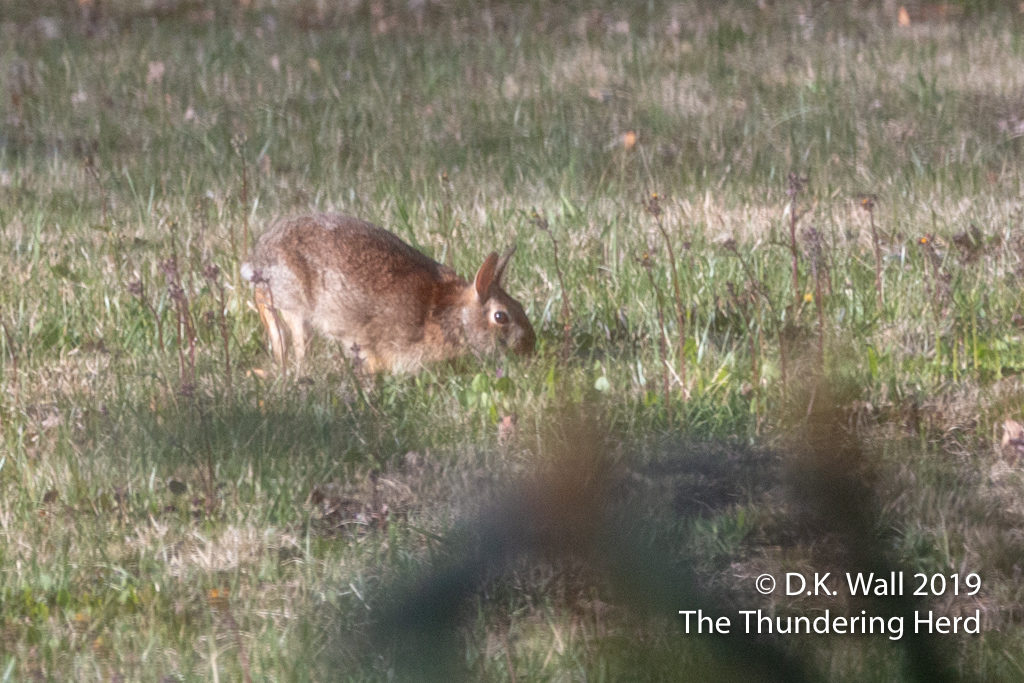 One of the eleventy-seven bazillion rabbits in our field.