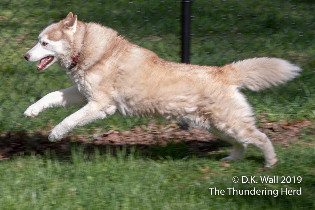 The speedy senior Miss Cheoah running laps around the yard.