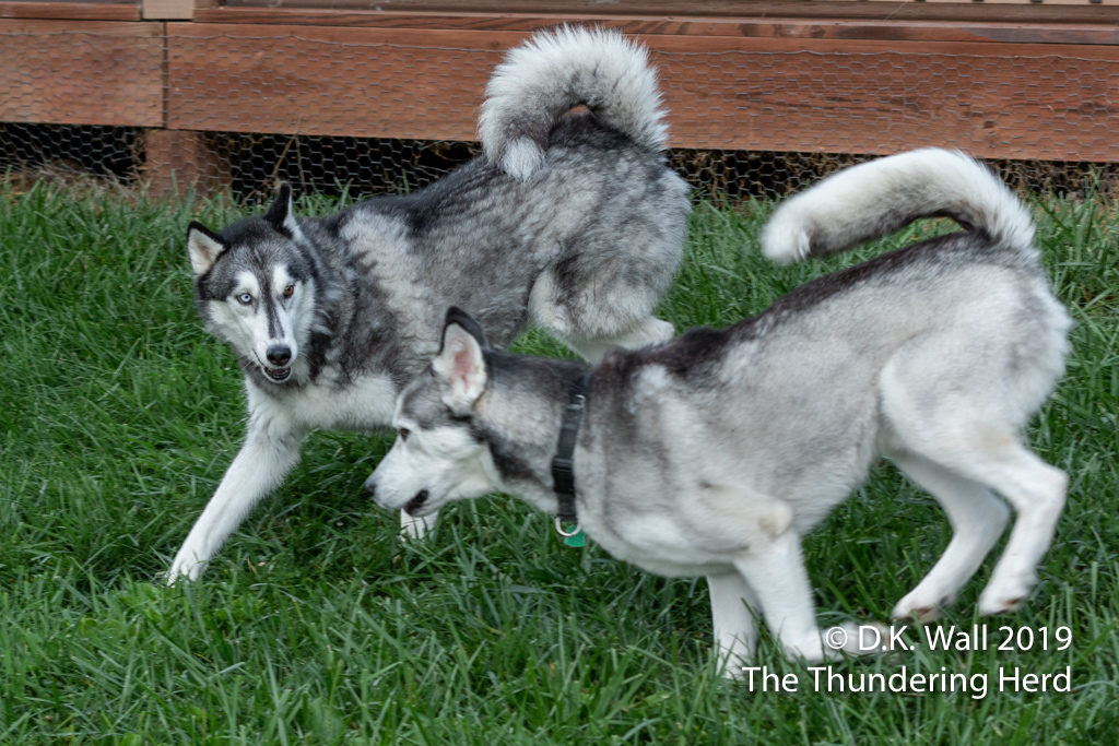Typhoon and Roscoe—the unlikely pals pal around the yard.