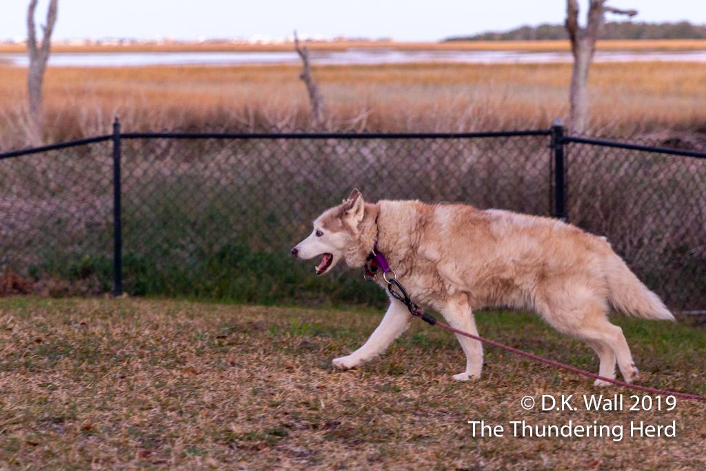Cheoah enjoying a stroll around the yard (with leash dragging)