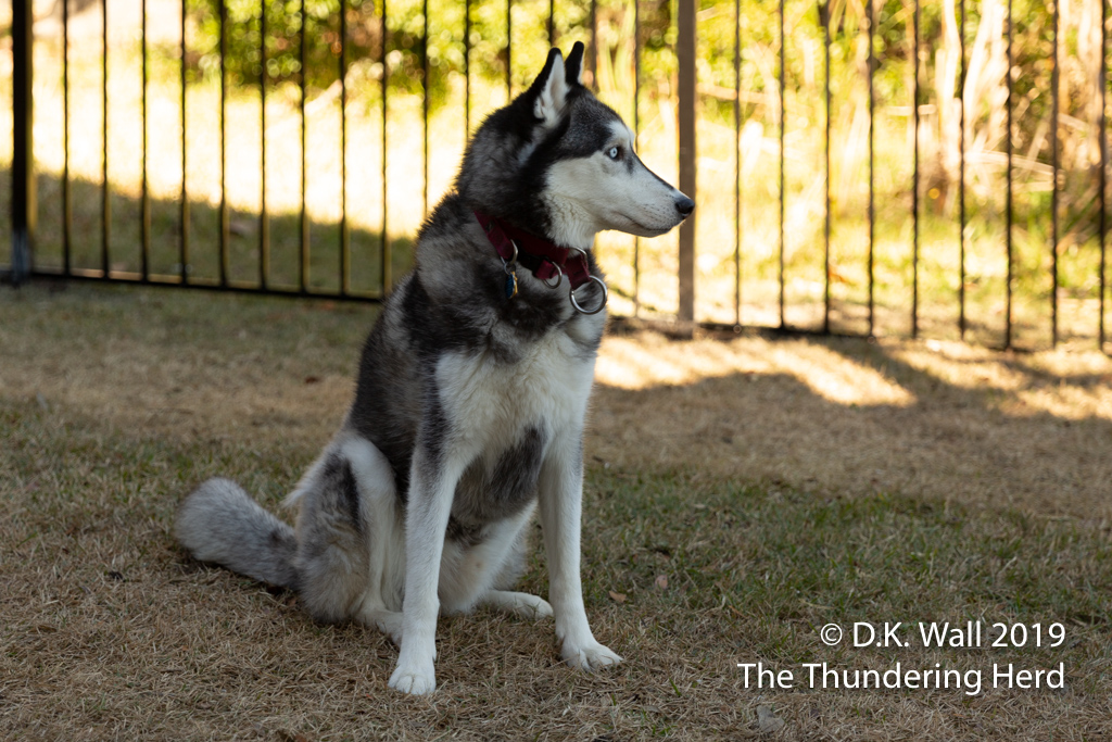 The Little Prince striking a royal pose in the yard...without a leash.