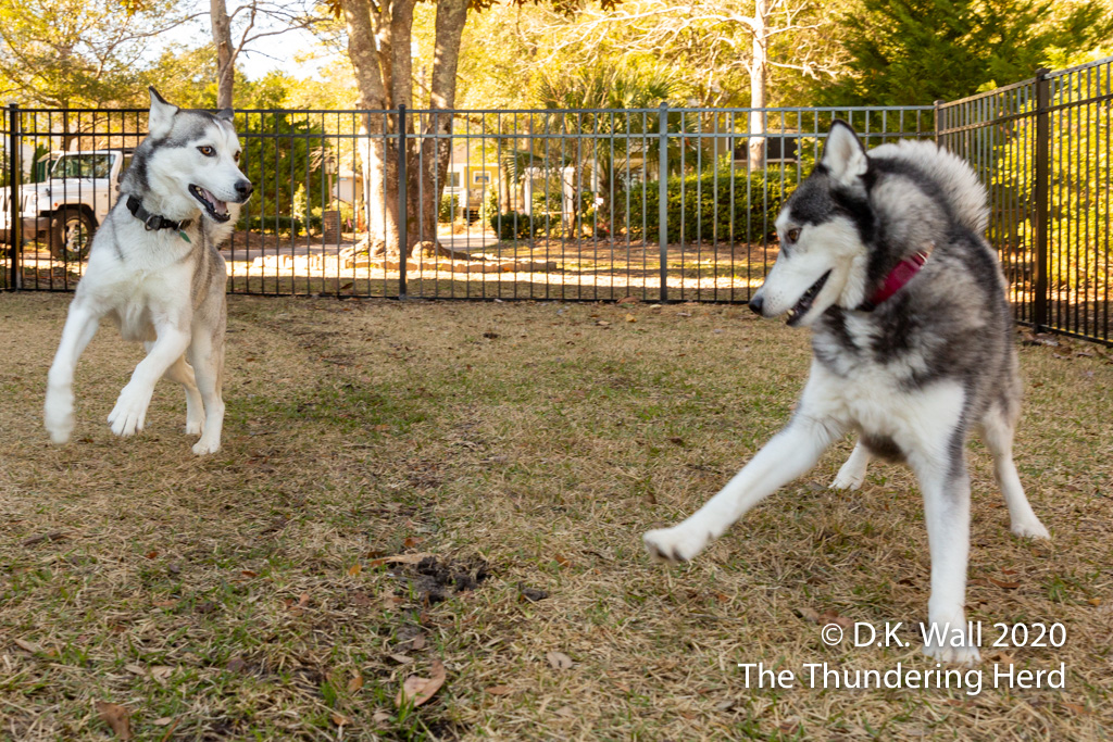 Roscoe and Typhoon initiating a rousing game