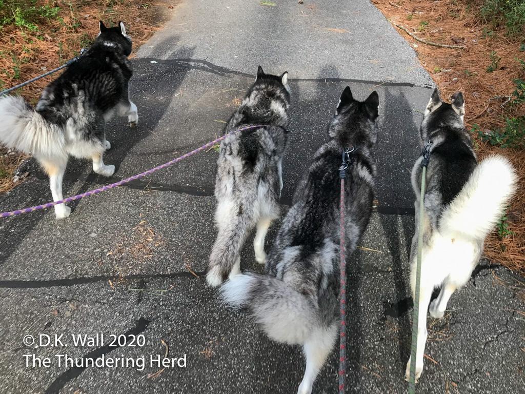 The four boys walking - Landon, Frankie, Typhoon and Roscoe