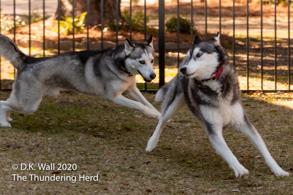 A rare moment of play in working dogs' lives