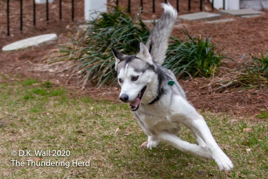Roscoe zooming around the yard